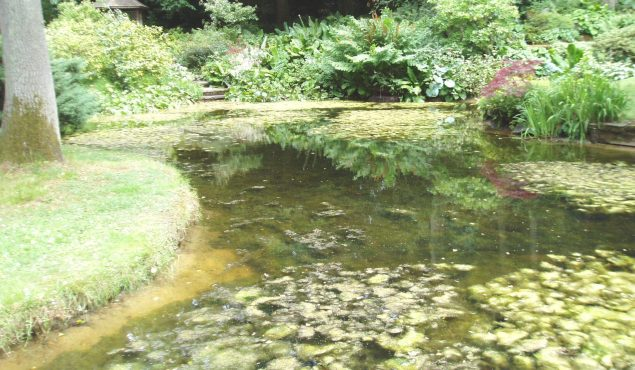pond with thick algae